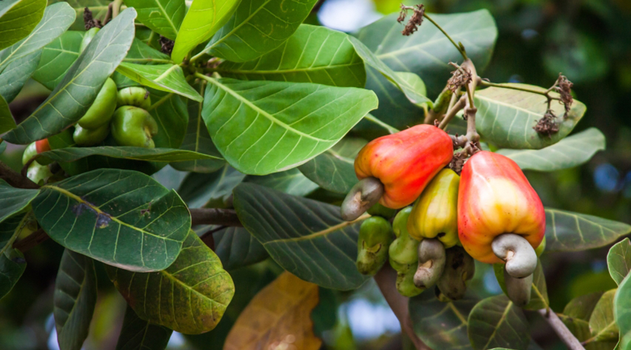 TOWARDS A REVITALISED CASHEW PRODUCTION SUB-SECTOR